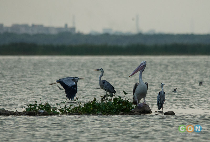 Grey Heron, Pelican at Chembarambakkam Lake.